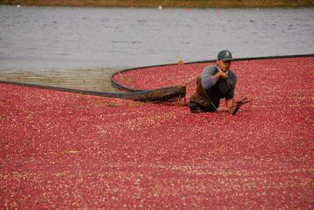 Cranberry grower rounding up cranberries in bog to harvest.